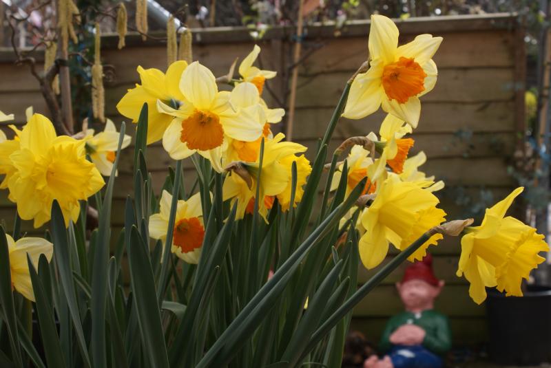 Daffodils - Elmwood